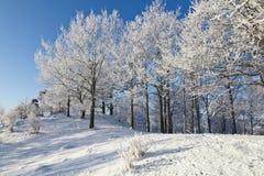 有雪的落叶树森林 库存图片