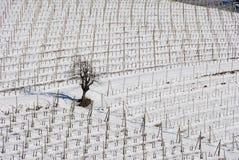 有雪的葡萄园Langhe 库存照片
