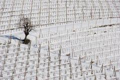 有雪的葡萄园Langhe 免版税库存照片
