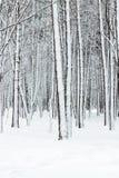 有雪盖的光秃的树干的美丽的冬天森林 库存照片