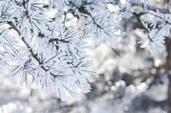 有雪花的,冬天背景,特写镜头杉树枝杈 免版税库存图片