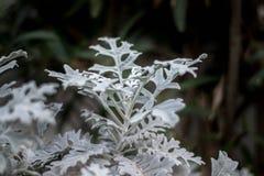 有雪颜色的俏丽的植物 免版税图库摄影
