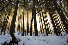 有雾和光束的冬天森林在日落 免版税库存图片