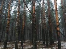 有雾的冬天杉木森林早晨 免版税库存照片