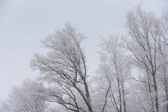 有雾的冬天风景-冷淡的树在多雪的森林里 图库摄影