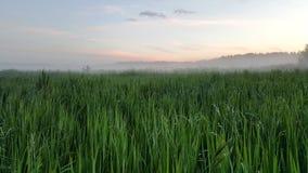 有雾的在雨以后的晚上久的草 库存图片