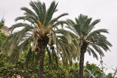 有雾的天,绿色和橙色颜色-两棵可可椰子树分支在巴塞罗那西班牙临近Arc de Triomf 库存图片