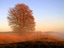 有雾的山毛榉 库存图片