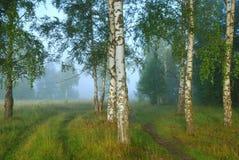 有雾的早晨在桦树森林里 库存照片