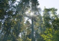 有雾的春天早晨在美丽的森林里 免版税图库摄影
