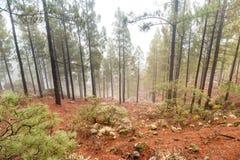 有雾的杉木森林自然lanscape  图库摄影