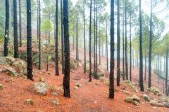 有雾的杉木森林自然lanscape  库存图片