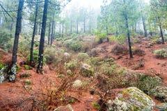 有雾的杉木森林自然lanscape  库存照片