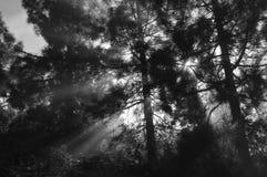 有雾的杉木 库存图片