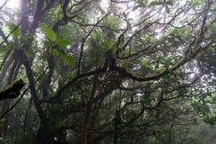 有雾的树在Mombacho云彩森林里 库存图片