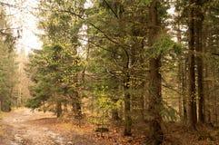 有雾的森林在春天 库存照片