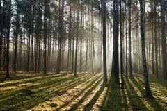 有雾的森林有薄雾老 图库摄影