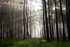 有雾的森林有薄雾老 免版税库存照片