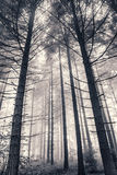 有雾的森林杉木 免版税库存照片