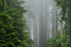 有雾的森林红木 库存图片