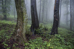 有雾的森林老结构树 免版税库存图片