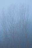 有雾的白杨树 库存照片