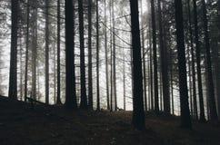 有雾的神奇杉树森林 免版税库存照片