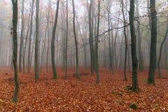 有雾的秋天山毛榉森林 库存图片