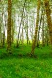 有雾的绿色森林奥林匹克国家公园 库存照片