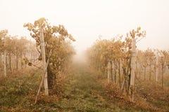 有雾的葡萄园 免版税库存图片