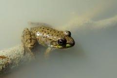 有雾的青蛙 免版税库存照片