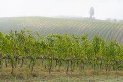 有雾的9月早晨在托斯卡纳的葡萄园里,意大利 库存图片