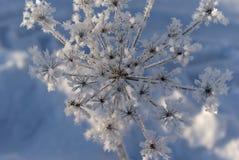有霜的冬天植物 免版税库存图片