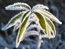 有霜的叶子,被拍摄在冷淡的夜以后 库存图片
