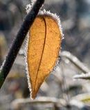 有霜的叶子,被拍摄在冷淡的夜以后 图库摄影
