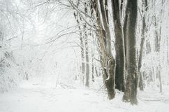 有霜的被迷惑的冬天森林在树和大雪 库存图片