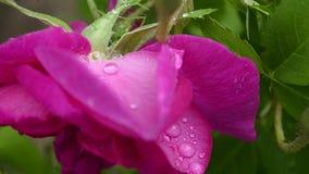 有露水在庭院,特写镜头下落的红色牡丹瓣  影视素材