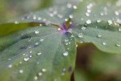有露水小滴的植物叶子 库存图片