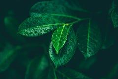 有露水的叶子 免版税库存图片