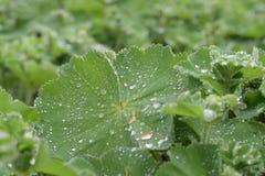 有露水的嫩绿的植物 免版税库存照片