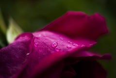 有露滴的玫瑰花瓣 免版税图库摄影