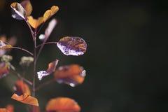 有露滴的秋天叶子 库存照片