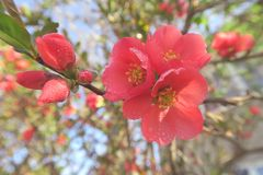 有露水的美丽的红色樱花 库存照片