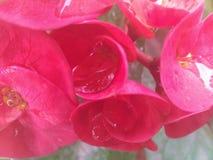 有露水的花瓣 免版税库存照片