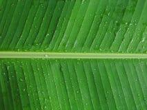 有露水的香蕉叶子 免版税图库摄影