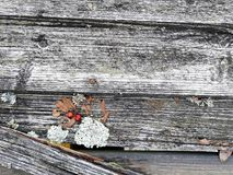 有青苔、地衣、叶子和花揪的被风化的木屋顶在特写镜头 免版税库存照片
