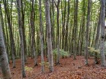 有非常大树的森林 免版税库存照片