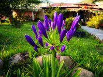 有非洲百合,爱情花africanus一个好的标本的装饰庭院  库存照片