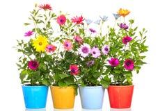 有非洲雏菊花的五颜六色的罐 库存图片