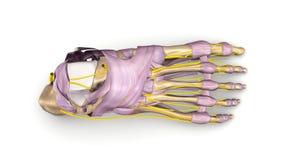 有韧带和神经顶视图的脚骨头 库存照片